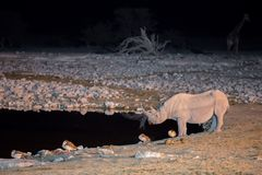 Rhino at waterhole Royalty Free Stock Images