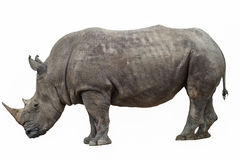 Rhino on  white background Stock Photo