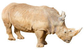 Rhino on a White Background Royalty Free Stock Photos