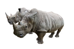 Rhino on white background. Stock Photo