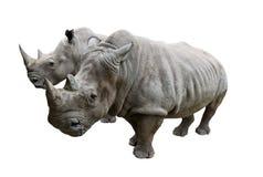 Rhino on white background. Stock Photo