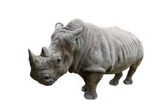 Rhino on white background. Stock Images