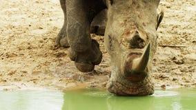 Rhino White rhinoceros Ceratotherium simum with stock images