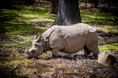 Rhino. White Rhino in the wild Stock Image
