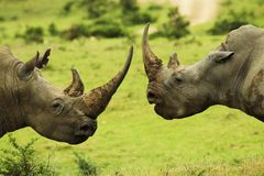Rhino: Who's the boss Stock Photo