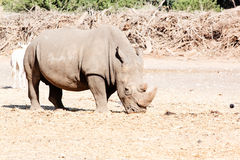 Rhino in the wild Royalty Free Stock Photo