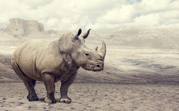 Rhino in the wild Stock Images