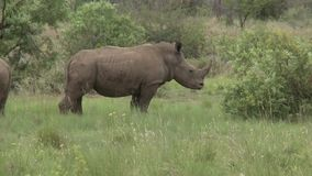 Rhino in the wilderness stock video