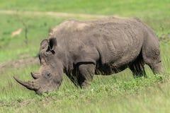 Rhino Wildlife Royalty Free Stock Image