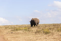 Rhino Wildlife Royalty Free Stock Photos