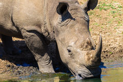 Rhino Wildlife Water Drinking Stock Photo