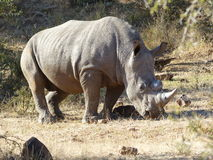 Rhino youngster. After a horntreatment to stop rhino poaching Stock Image