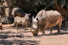 Rhino and zebra in natural savannah habitat royalty free stock image