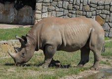Rhino in zoo. Rhino in a zoo close up Royalty Free Stock Photo