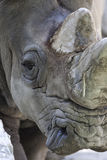 Rhino at the zoo Stock Photos