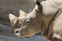 Rhino at the zoo Royalty Free Stock Images