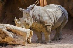 Rhino at the zoo Stock Photo