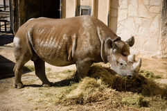 Rhino at the Zoo Royalty Free Stock Image