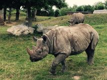 A Rhino in the Zoo stock images