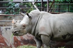 Rhino in a zoo. Rhino close-up in a cage in a zoo eating grass Royalty Free Stock Image
