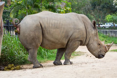 Rhino in zoo Stock Images