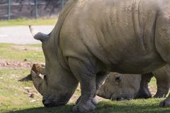 Rhino in a zoo in Italy Stock Images