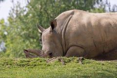 Rhino in a zoo in Italy Stock Photos
