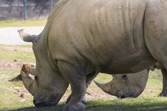 Rhino in a zoo in Italy Stock Photography