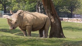 Rhino in a zoo in Italy Royalty Free Stock Images