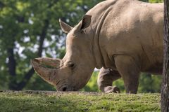 Rhino in a zoo in Italy Royalty Free Stock Photography