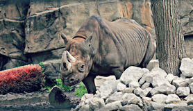 Rhino in Zoo. This is a zoo in Lincoln Park in Chicago. Thae photp sis of a Rhinoceros, often abbreviated as rhino, which is a group of five extant species of Royalty Free Stock Photo