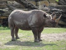 Rhino in the zoo. In Leipzig royalty free stock photography