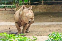 Rhino in a zoo Stock Image