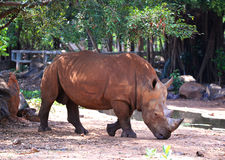 Rhino in zoo Stock Photography