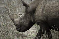 Rhinocéros énorme Photographie stock libre de droits