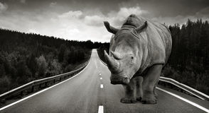 Rhinocéros énorme sur le chemin d'asphalte Photographie stock libre de droits