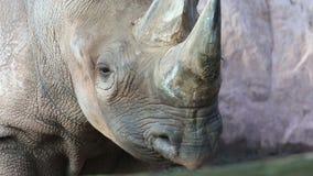 Rhinocéros banque de vidéos