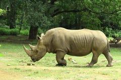 Rhinocéros Photos stock