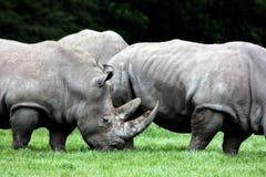 Rhinocéros 3 Photos libres de droits