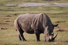 Rhinocéros adulte Image stock