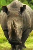 Rhinocéros africain Photo libre de droits