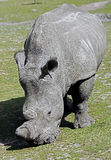 Rhinocéros africain Photo stock