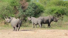 Rhinocéros, Africain noir rare et espèce menacée Photo stock