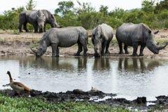 Rhinocéros appréciant l'eau froide un jour chaud images stock