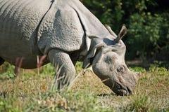 rhinocéros asiatique Image libre de droits