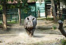 Rhinocéros asiatique Images libres de droits