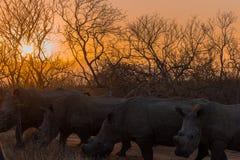 Rhinocéros au coucher du soleil sur un safari en Afrique du Sud photo stock