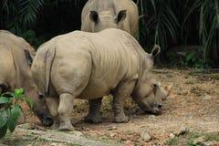 Rhinocéros au negara de zoo Photo stock