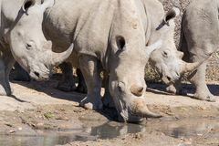 Rhinocéros au point d'eau photos stock