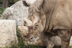 Rhinocéros au zoo Photo libre de droits